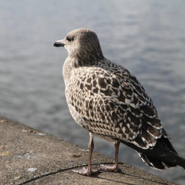 Seagull at Tjörnin.