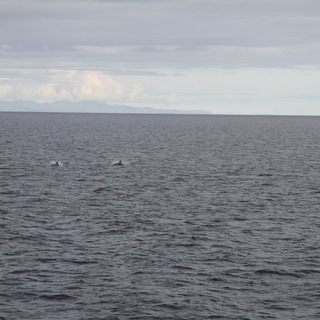 White-beaked dolphins swimming at the surface.