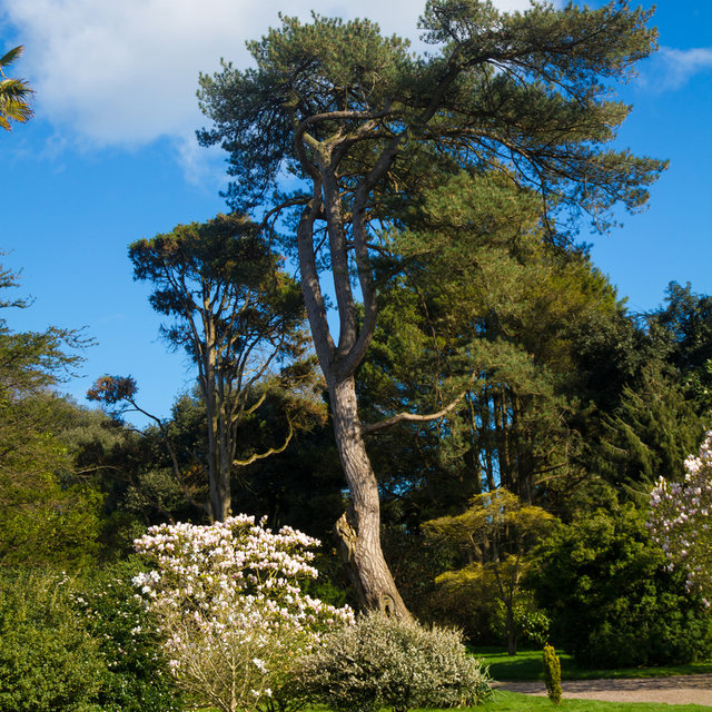 A large tree in the Fota Gardens and Arboretum.