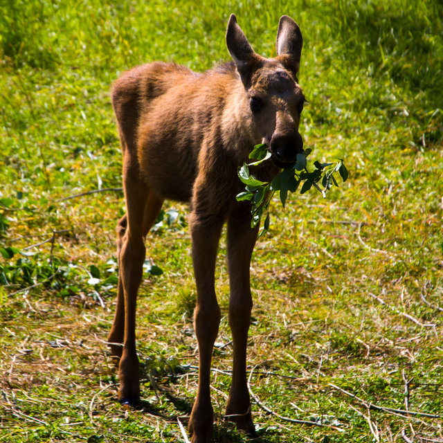 A young moose eating some leaves.