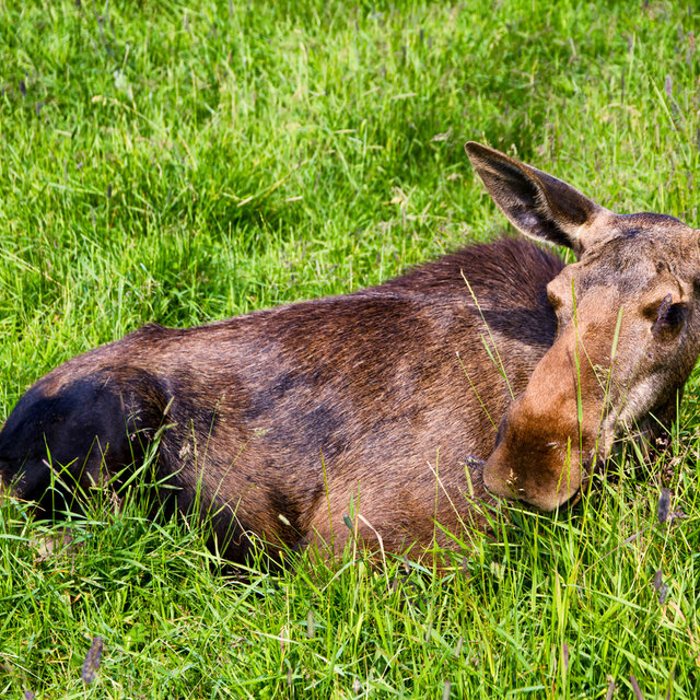 A moose lying in the grass.
