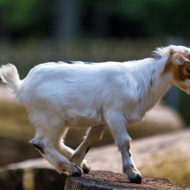 A young goat in the Bayreuth zoo.