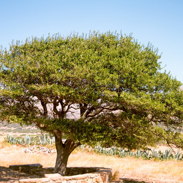 Tree near the Temple of Demeter.