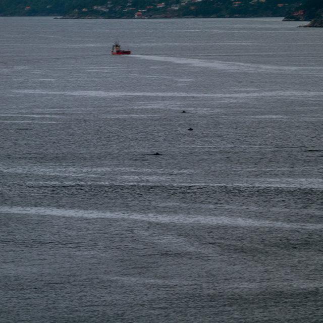 A group of harbour porpoises in Byfjorden in Bergen.