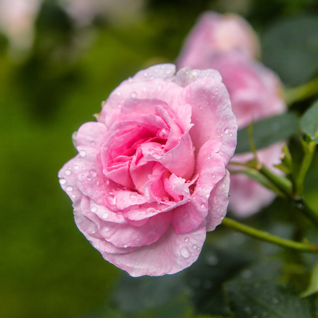 A rose blossom in the rose garden of the Barony Rosendal.